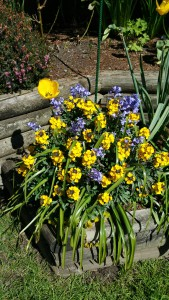 Article 14 - Blue bell and Yellow Tulips